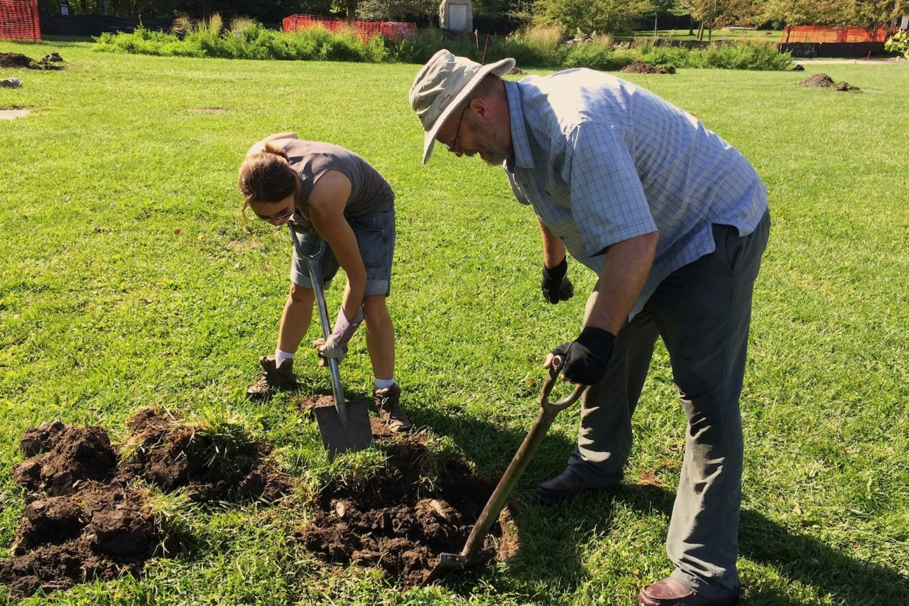 Planting oaks in the Ladd Arboretum