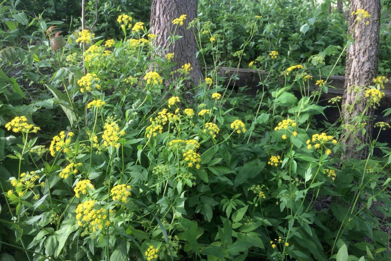 Golden alexander in bloom in the Ladd Arboretum