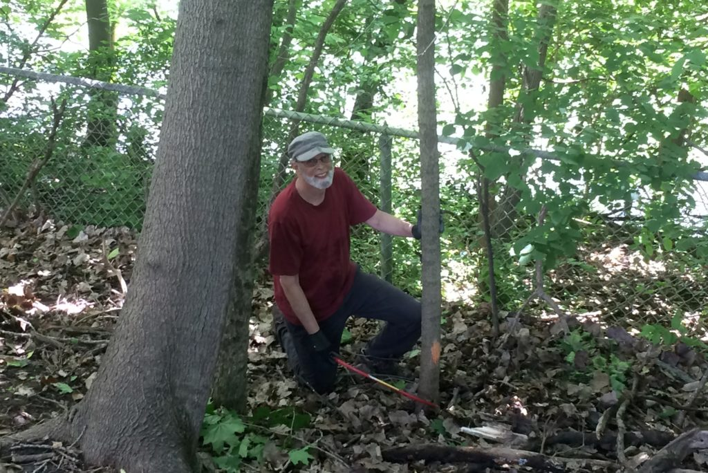 Cutting Norway maples at the Ladd Arboretum
