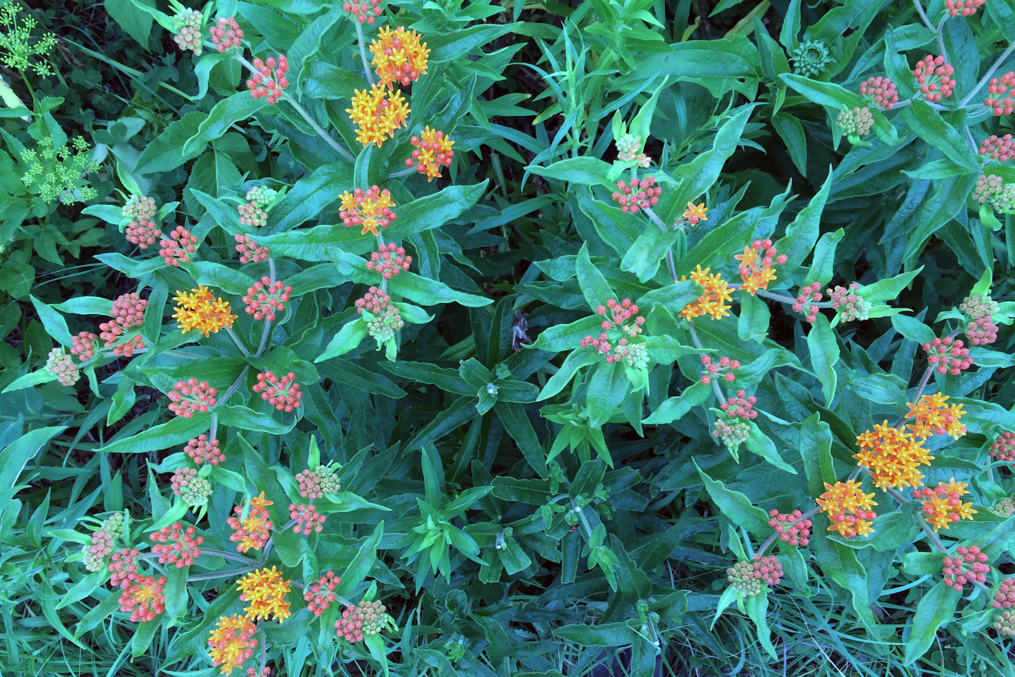 Butterfly Milkweed in the Ladd Arboretum