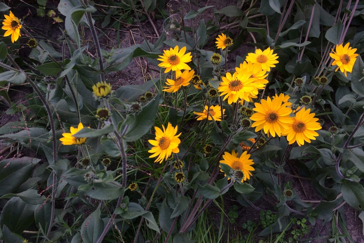 Western sunflower (Helianthus occidentalis) in the Civic Center Bird Garden
