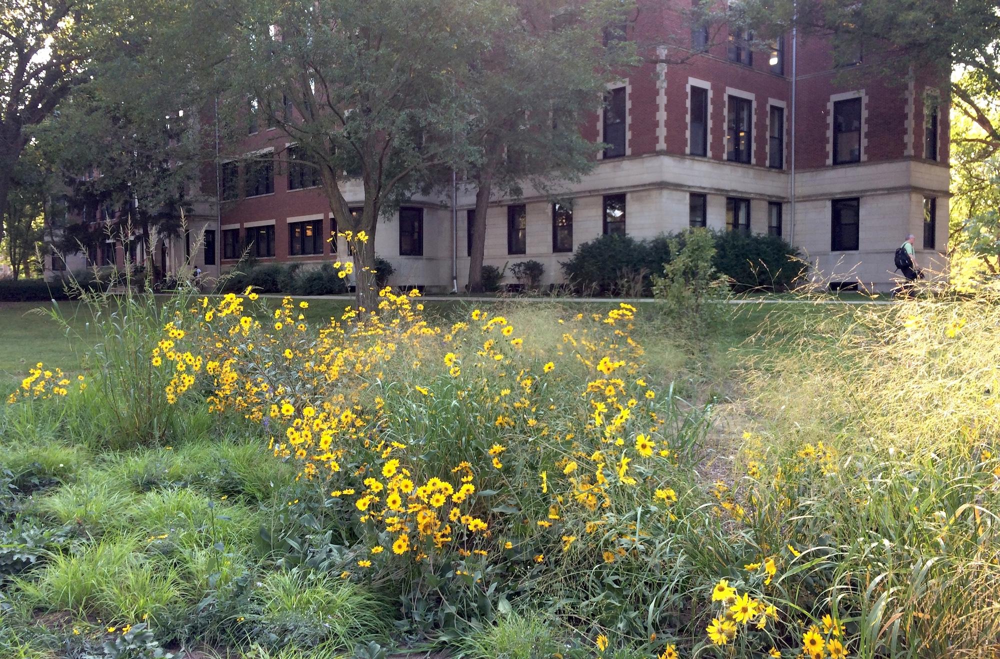 Civic Center Garden September sunflowers