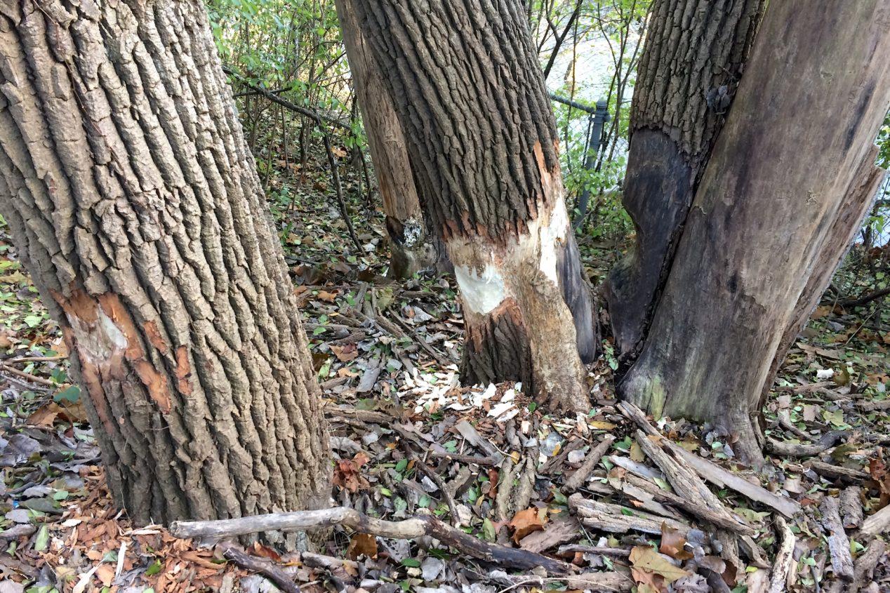 Beaver damage to cottonwood