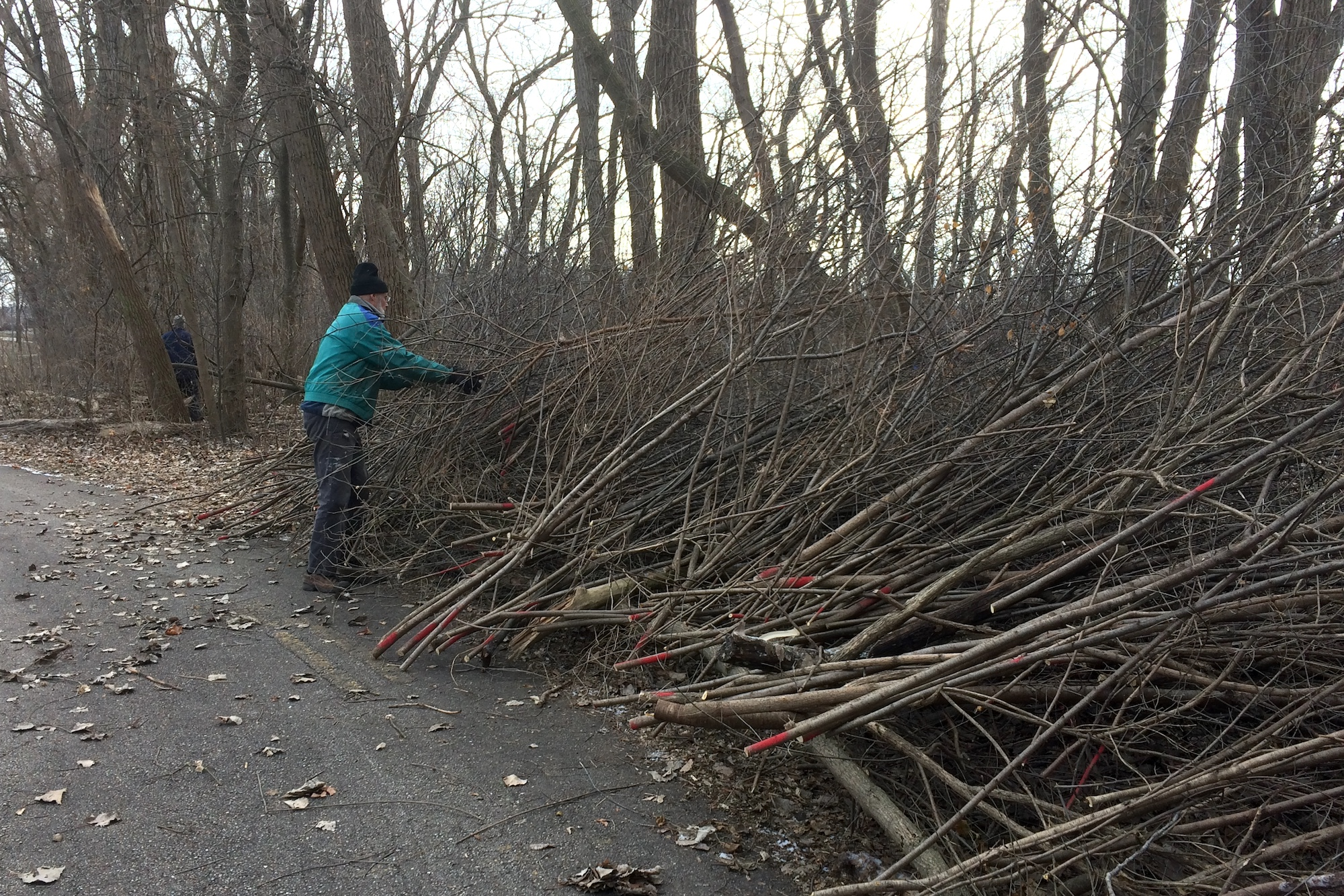 Buckthorn ready for chipping at Harbert Park