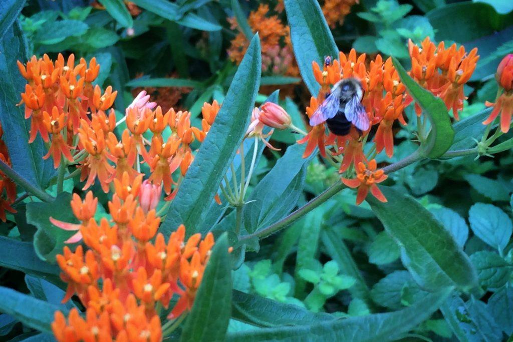 Bumblebee on butterfly milkweed