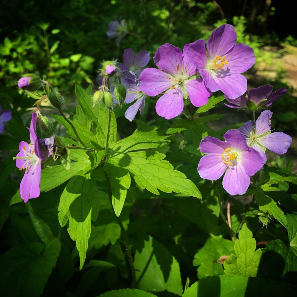 Wild geranium in bloom