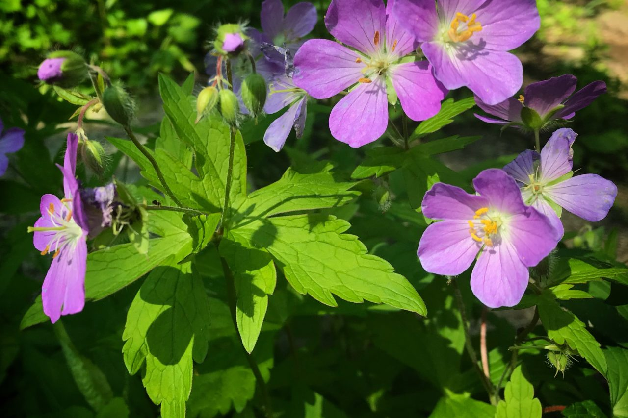 Wild geranium in bloom