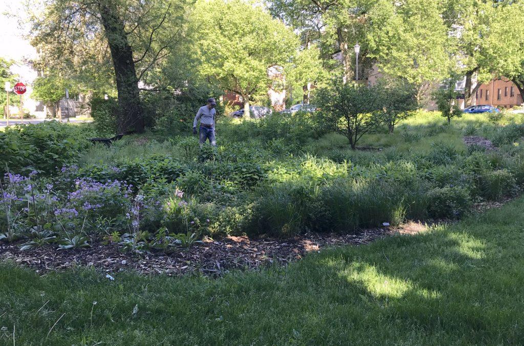 Civic Center Habitat Garden, flourishing two years after planting