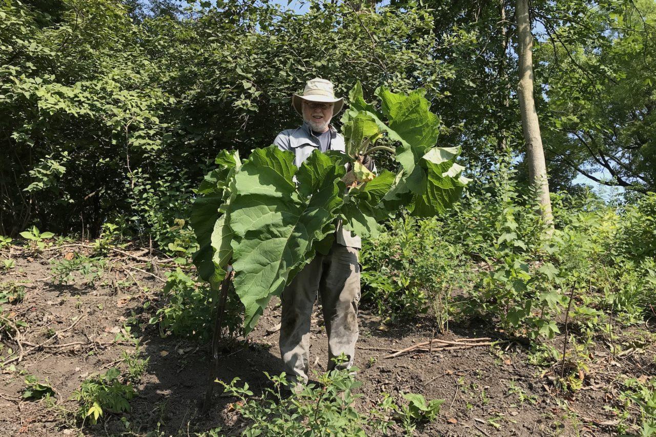 Tony removing burdock in the Ladd Arboretum