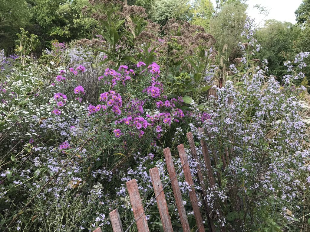 Asters and joe-pye weed at the Ladd Arboretum