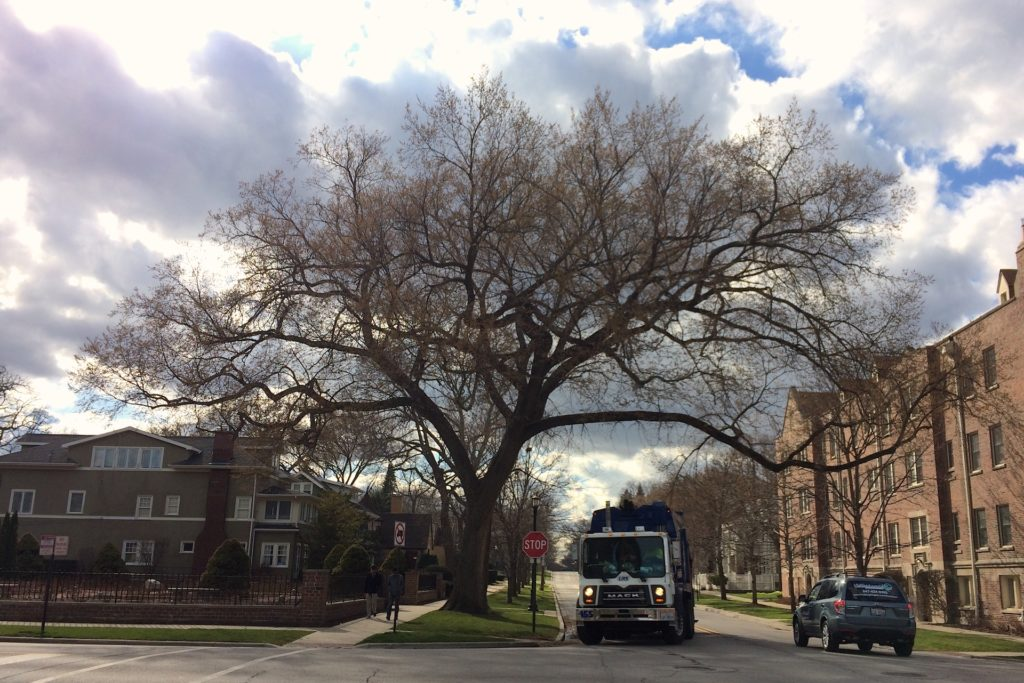 American elm, one of Evanston's signature street trees